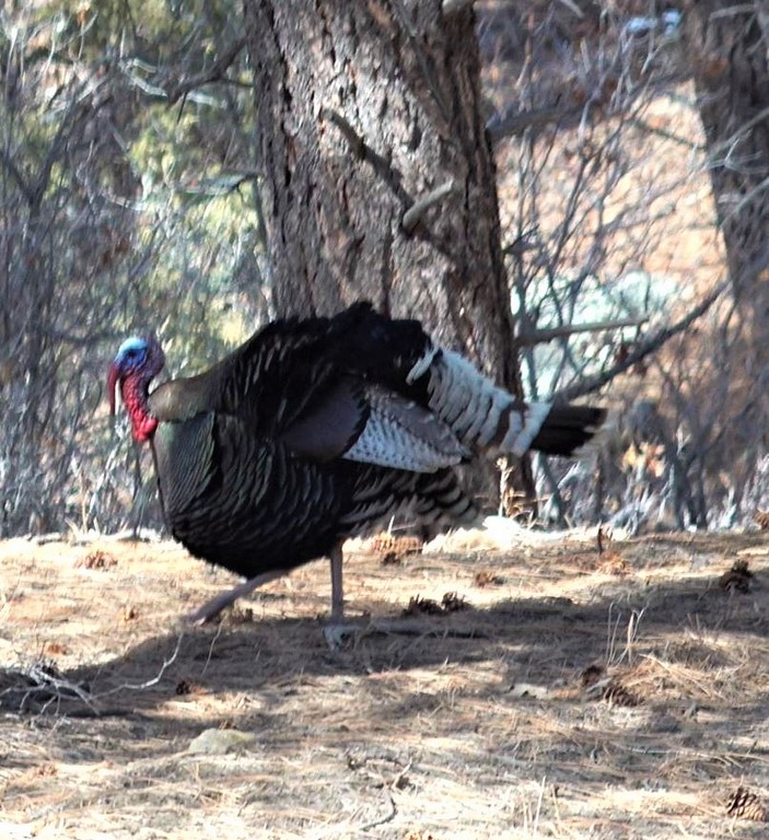 La Plata Mountain Ranch Turkey