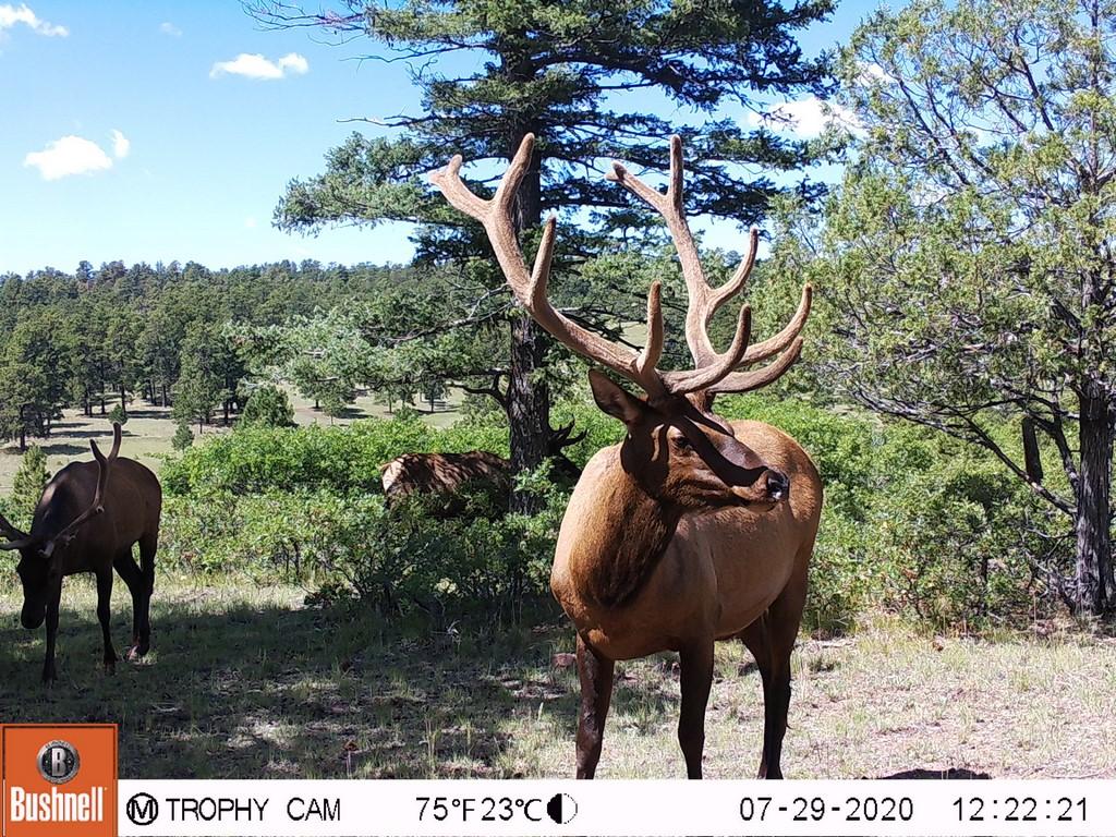 Giant Mule Deer in Canon, Colorado