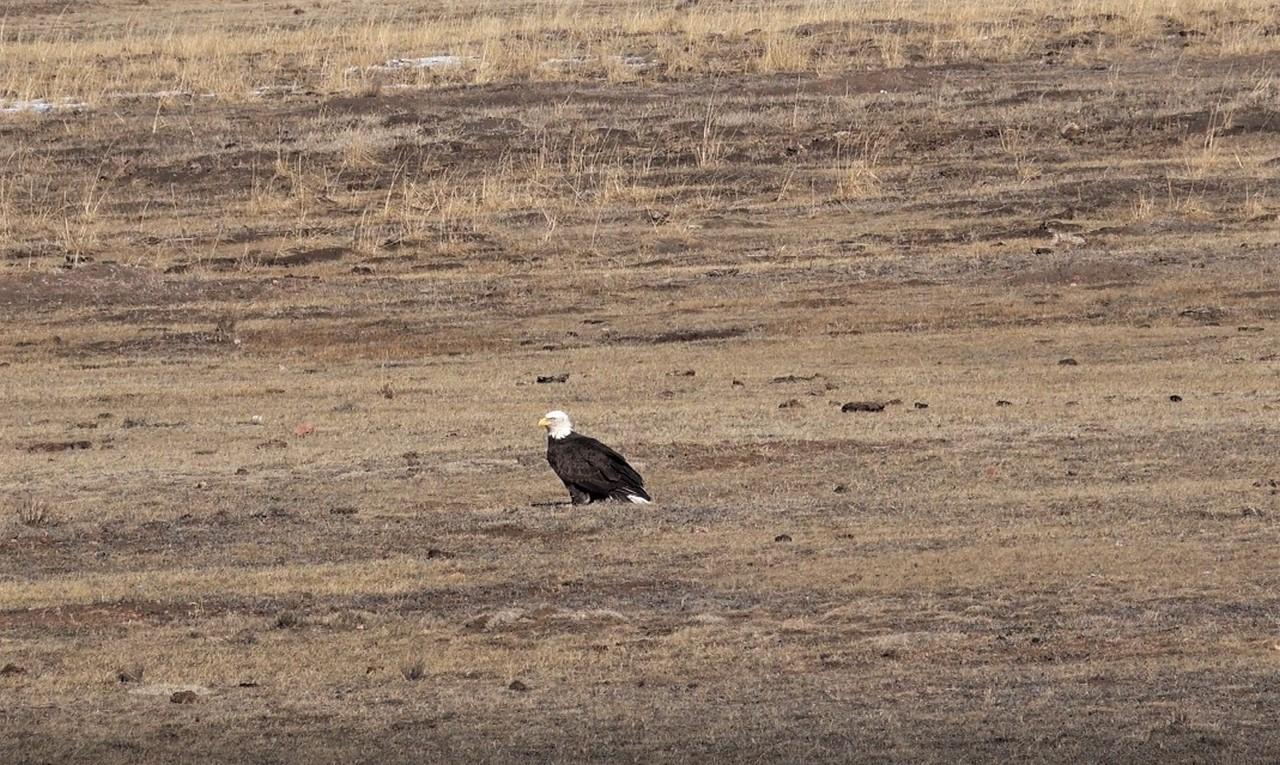 Muy Grande Ranch Wildlife - Bald Eagle - Canon City, Colorado